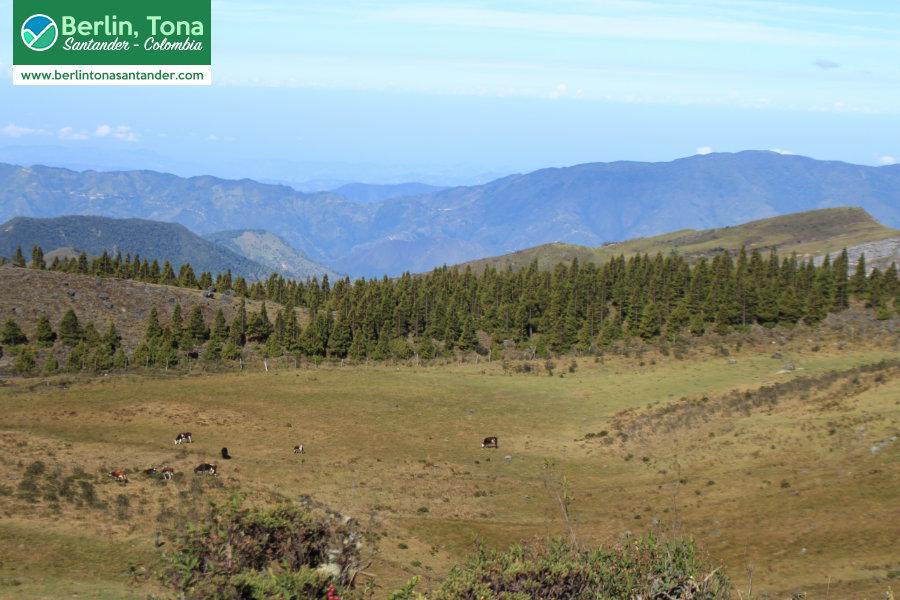 Hermoso paisaje destacado por una gran fila de pinos que no pudimos evitar fotografiar | Páramo Santurbán - Berlín, Tona - Santander Colombia