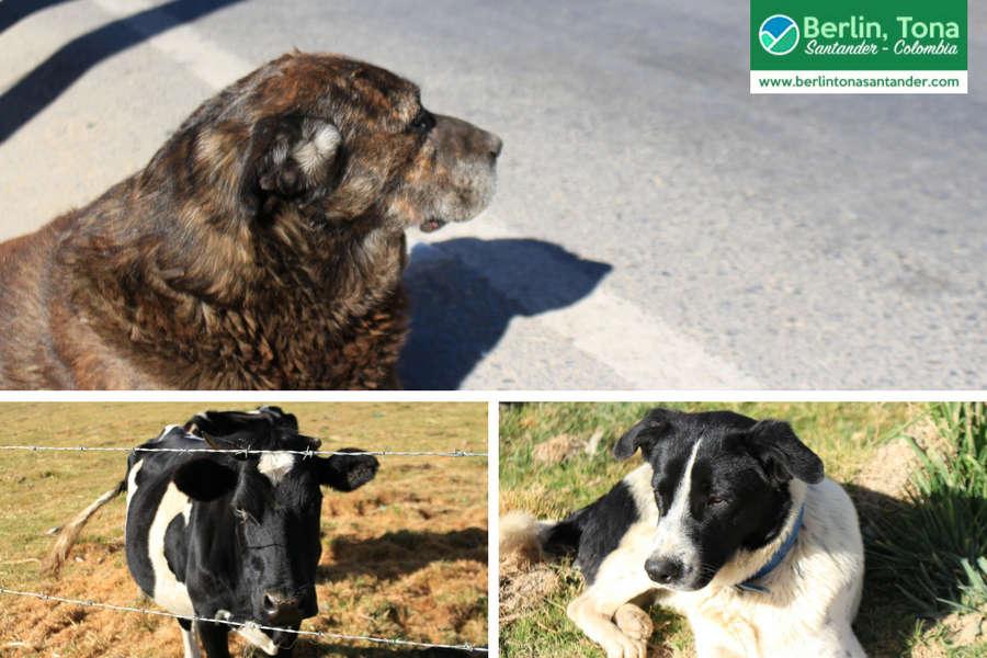 Dos hermosos perritos del corregimiento y una vaca que se encontraban en el camino descansado | Páramo Santurbán - Berlín, Tona - Santander Colombia