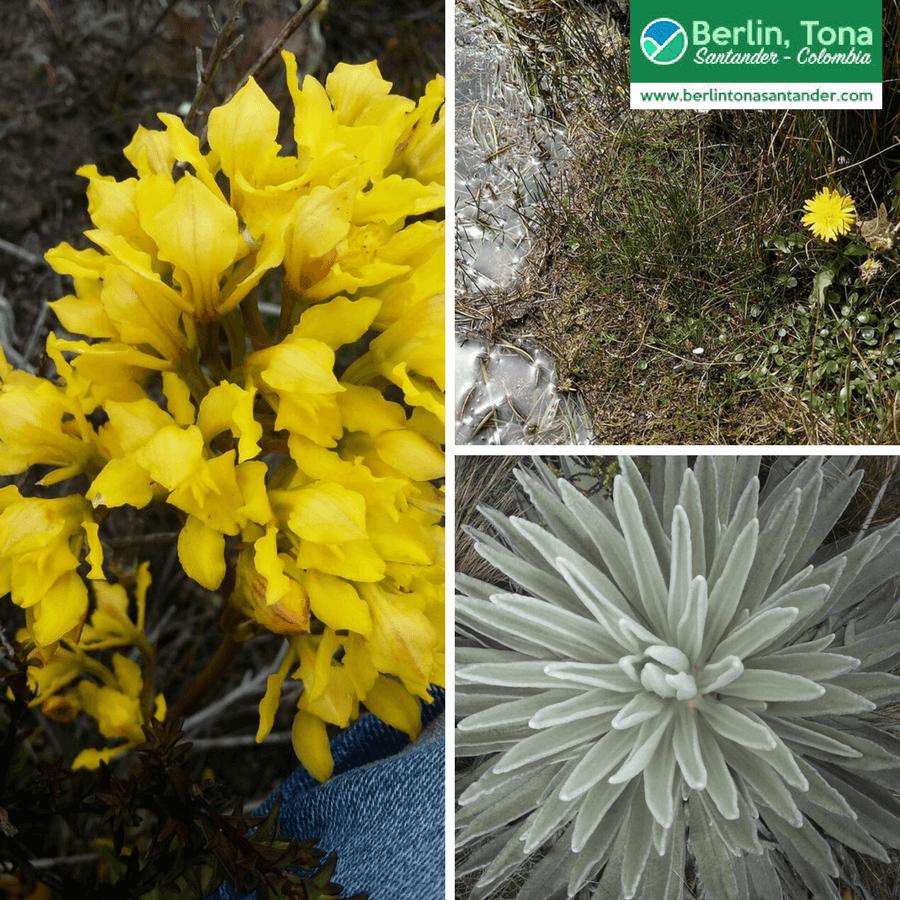 Pequeñas flores amarillas crecen entre el musgo de las rocas| Páramo Santurbán - Berlín, Tona - Santander Colombia