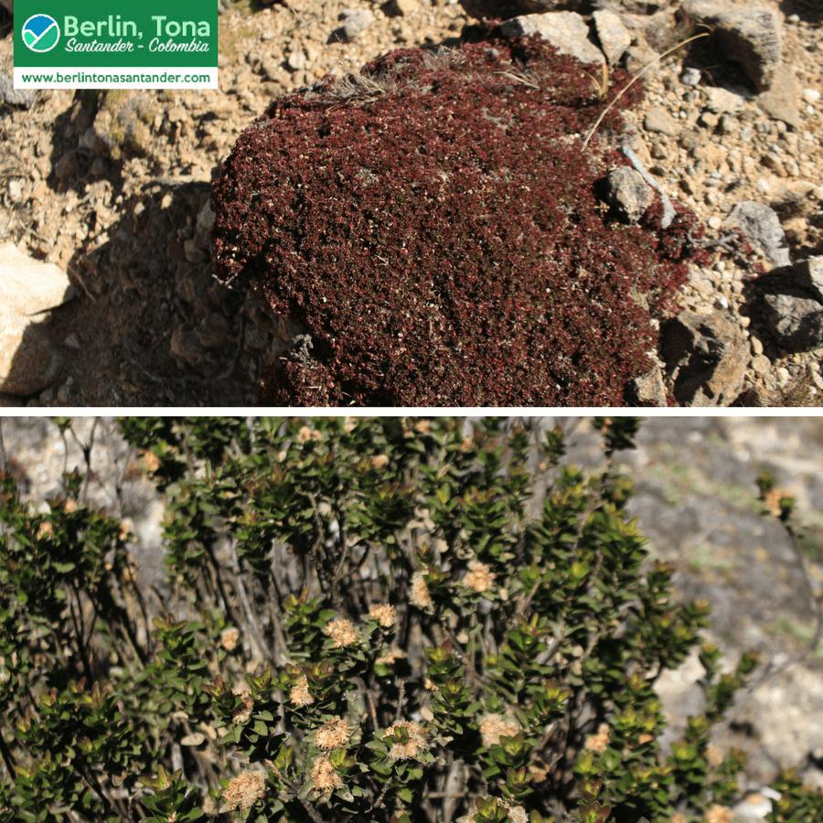 Especie de musgo rojizo cubriendo una roca cerca de la laguna de cunta| Páramo Santurbán - Berlín, Tona - Santander Colombia